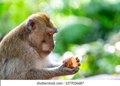 Macaque monkey holding a piece of sweet potato at Ubud Monkey Forest in Bali, Indonesia