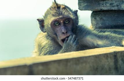 Macaque monkey at Pura Luhur Uluwatu rock cliff temple - Bali, Indonesia