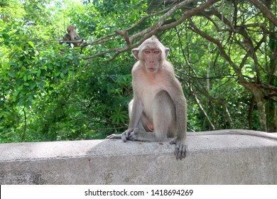 Macaque monkey sitting on balcony looking straight with young monkeys playing in the background