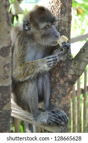Macaque monkey sitting on a tree and eats