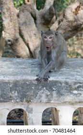 Macaque monkey sitting on wall.