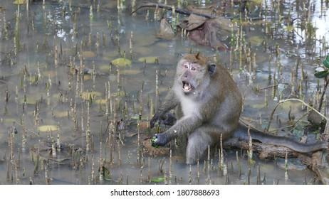Macaque monkey waiting for food  in natural habitat on wild beach