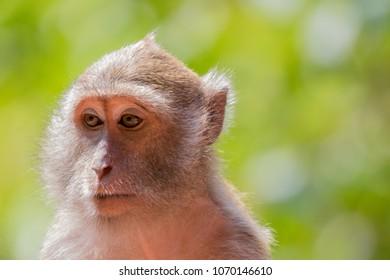 Macaque Monkeys in Phuket / Krabi Region of Thailand