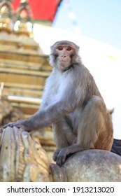 Macaque monkeys at a swayambhunath temple can spot expensive items to steal and ransom for food