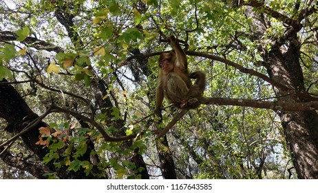 Macaque perched in the trees