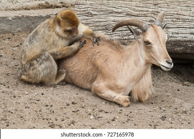 Macaque removing lice to a goat.