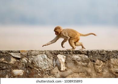 Makaken Rhesus auf der Wand mit schönem, unscharfem Hintergrund. Wahnsinniger Affe im Stadtgebiet. Tierwelt mit gefährlichem Tier. Heißes Wetter in Indien. Macaca mulatta.