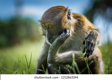 The macaque scratches on the head using the lower limb, the monkey sits on a green grassy meadow, National Park in Thailand