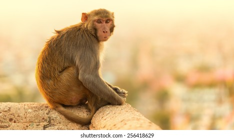 A Macaque sits at sunset at the Monkey Temple, Jaipur,India.