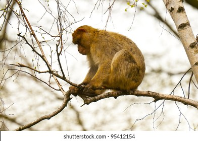 Macaque sitting on the birch branch (Barbary Macaque, Common Macaque)
