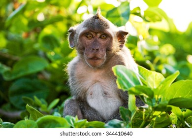 Macaque sitting on a tree. Indonesia. The island of Bali. An excellent illustration.