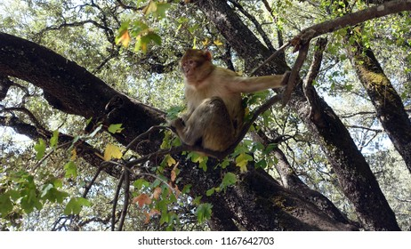 Macaque in the tree tops