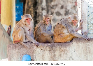 Macaques near Mt Popa temple, Myanmar