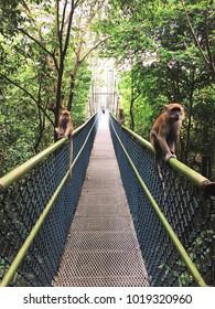 Macaques at Treetop Walk of MacRitchie Reservoir Park