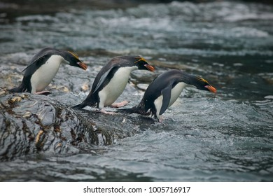 Macaroni penguin (Eudyptes chrysolophus) going to sea
