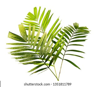 Macarthur palm leaves or Ptychosperma macarthurii, Tropical foliage isolated on white background with clipping path