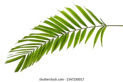 Macarthur palm leaves(Ptychosperma macarthurii)Tropical isolated on white background.
