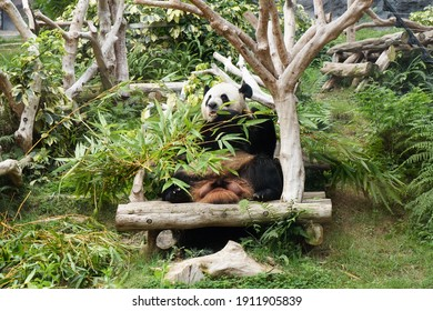 Macau, China, May 18, 2017. A giant panda eating bamboo at Seac Pai Van Park, Macao, China.