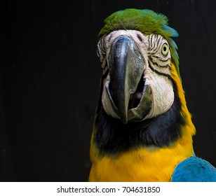 Macaw in an aviary, isolated on black background