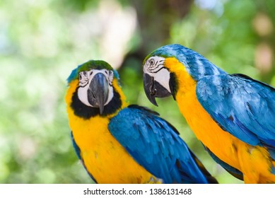 Macaw bird parrot on branch tree on nature green background / yellow and blue wing macaw ara ararauna