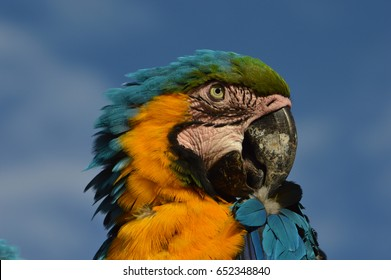 Macaw blue and yellow scratching