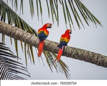 Macaw - Corcovado National Park , Drake bay  Views around  Costa Rica - Central America
