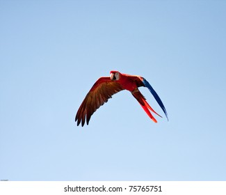 Macaw flying with a blue sky as background