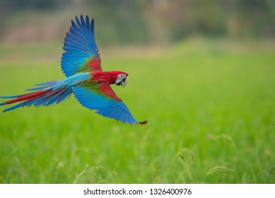 Macaw flying on green rice fields