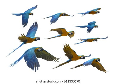 Macaw flying on white background