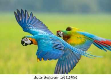 Macaw flying, A parrot that is beautiful and cute.