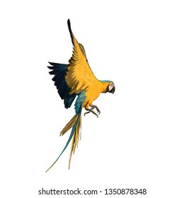 Macaw flying with white background and clipping path