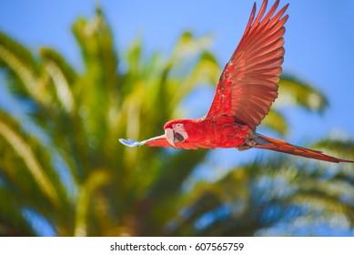 Macaw in free flight in exotic birds show at Palmitos Park in Maspalomas, Gran Canaria, Spain
