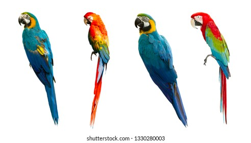 Macaw isolated on white background