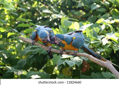 Macaw Kissing Cousins