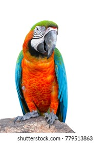Macaw parrot, Colorful bird perching on branch. Portrait of amazon's parrot or colorful parrot on white background.