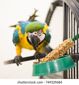 Macaw parrot eats his treat near the cage.