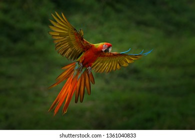 Macaw parrot flying in dark green vegetation. Rare form Ara macao x Ara ambigua, in tropical forest, Costa Rica. Wildlife scene from tropical nature. Bird in fly, jungle. Red hybrid parrot in forest.