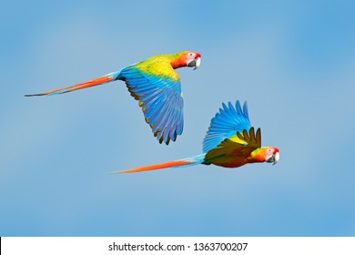 Macaw parrot flying in dark green vegetation. Rare form Ara macao x Ara ambigua, in tropical forest, Costa Rica. Wildlife scene from blue sky. Bird in fly, jungle. Red blue hybrid parrot in forest.