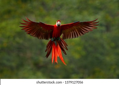 Macaw parrot flying in dark green Scarlet Macaw, Ara macao, in tropical forest, Costa Rica. Wildlife scene from tropical nature. Red in forest. vegetation with beautiful back light and rain.