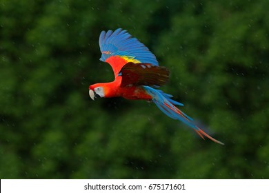 Macaw parrot flying in dark green vegetation. Scarlet Macaw, Ara macao, in tropical forest, Costa Rica, Wildlife scene from tropical nature in the rain.