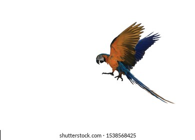 Macaw parrot is flying down.