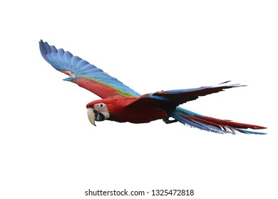 Macaw Parrot flying, Green-winged Macaws also known as Red and Green Macaw, They inhabit tropical rainforest it have large size, long tails, huge beaks, striking coloration and marked intelligence