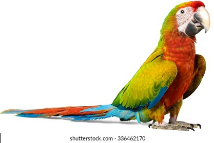Macaw Parrot - Isolated