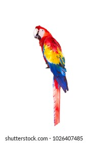 Macaw parrot isolated on the white background