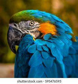 Macaw parrot portrait square composition eye contact close up shot