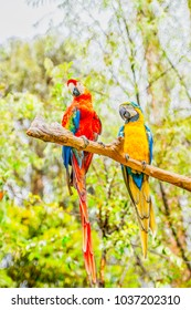 Macaw parrot posing on a branch in Peru