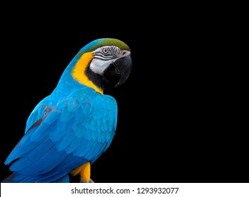 Macaw portrait isolated on black