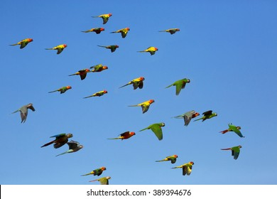 Macaw and Sun Conure Flock of flying in the sky.