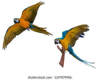 macaw with white background