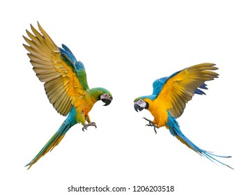 Macaws in flight On a white background